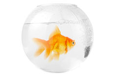 Gold fish at aquarium Stock Photography