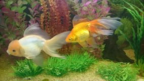 Gold fish aquarium. Bright orange gold fish with long vale fins Royalty Free Stock Photos