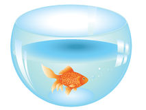 Gold Fish in Aquarium. Cartoon gold fish swimming in the water in a fishbowl Royalty Free Stock Photography