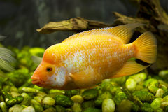 Gold fish in an aquarium cichlidae Royalty Free Stock Photo