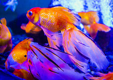 Gold fish. aquarium goldfish carp Royalty Free Stock Images