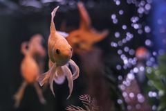 Gold fish in aquarium with green plants and air bubbles royalty free stock photo