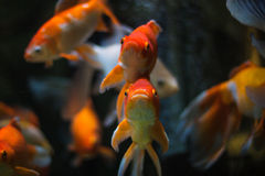 Gold Fish in aquarium Royalty Free Stock Photography