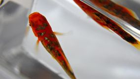 Gold fish in an aquarium stock footage