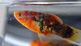 Gold fish in an aquarium stock footage