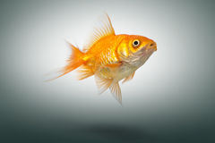 Gold fish on background. Royalty Free Stock Photo