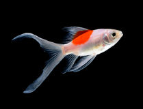 Gold fish. On black background Royalty Free Stock Photo
