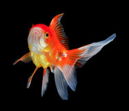 Gold fish on black. Background Royalty Free Stock Image