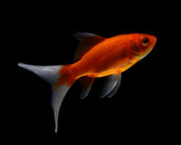 Gold fish  on black  background Royalty Free Stock Photos