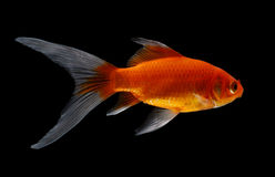Gold fish  on black  background Royalty Free Stock Photography