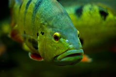 Gold fish with black eye. Royalty Free Stock Image