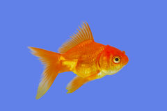 Gold fish on blue Stock Photos