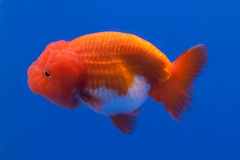 Gold fish. With blur background royalty free stock image