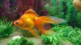 Gold fish. Bright orange gold fish with long vale fins Stock Photos