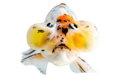 Gold fish  Clipping path included : Bulging Eyes Royalty Free Stock Photography