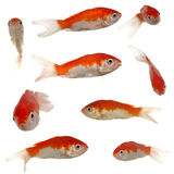 Gold fish collection Stock Image