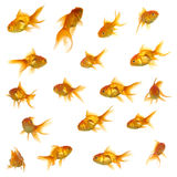 Gold fish collection Royalty Free Stock Photos