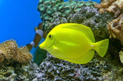 Gold fish and colorful coral reef Royalty Free Stock Image