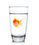 Gold fish in drinking glass Stock Photography