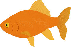 Gold fish . Fish isolated on a white background. Vector illustration. Carassius auratus gold fish . Fish isolated on a white background. Vector illustration Royalty Free Stock Photos