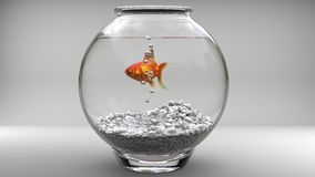 Gold fish in a fishbowl Royalty Free Stock Photography