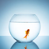 Gold fish in a fishbowl Stock Images