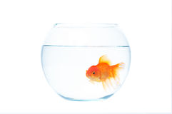 Gold fish with fishbowl on the white background. Gold fish with fishbowl isolation on the white background Royalty Free Stock Photography