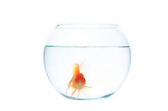 Gold fish with fishbowl on the white background. Gold fish with fishbowl isolation on the white background Stock Photography