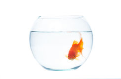 Gold fish with fishbowl on the white background. Gold fish with fishbowl isolation on the white background Stock Image