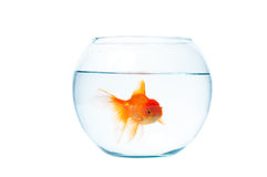 Gold fish with fishbowl on the white background. Gold fish with fishbowl isolation on the white background Stock Images