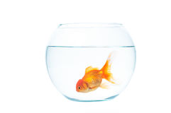 Gold fish with fishbowl on the white background. Gold fish with fishbowl isolation on the white background Royalty Free Stock Photos