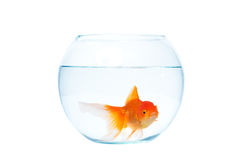 Gold fish with fishbowl on the white background. Gold fish with fishbowl isolation on the white background Royalty Free Stock Images