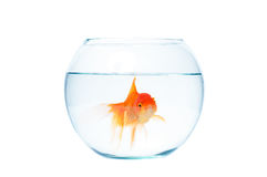 Gold fish with fishbowl on the white background. Gold fish with fishbowl isolation on the white background Royalty Free Stock Photo