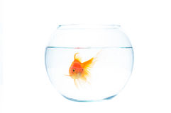 Gold fish with fishbowl on the white background. Gold fish with fishbowl isolation on the white background Stock Photo