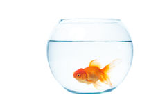 Gold fish with fishbowl on the white background. Gold fish with fishbowl isolation on the white background Royalty Free Stock Image