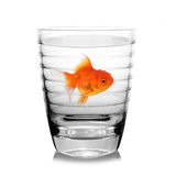 Gold fish in gสass. Isolation on the white royalty free stock image
