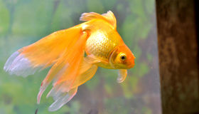 Gold fish (golden carp) Royalty Free Stock Images
