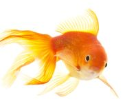 Gold fish (golden carp). Isolation on the white Royalty Free Stock Photos