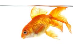 Gold fish (golden carp). Isolation on the white Stock Image