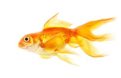 Gold fish (golden carp). Isolation on the white Royalty Free Stock Images