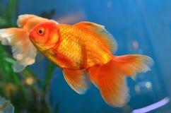 Gold fish Royalty Free Stock Photos