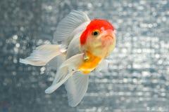 GOLD FISH Stock Photos