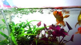 Gold fish or goldfish floating swimming underwater in fresh aquarium tank with green plant. marine life. 4K stock footage