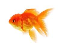 Gold fish, Goldfish Isolation on the white background Stock Photos