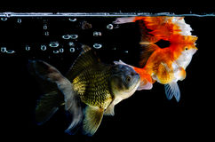 Gold fish group on a black Royalty Free Stock Image