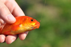 Gold fish in a hand Stock Photography
