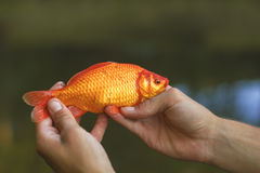 Gold fish. In hands. Carp coi Royalty Free Stock Photography