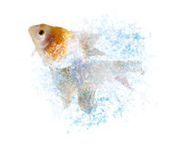 Gold fish hopping through splashing water Royalty Free Stock Photos