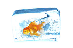 Gold fish in ice cubes Royalty Free Stock Image