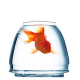 Gold fish Royalty Free Stock Image